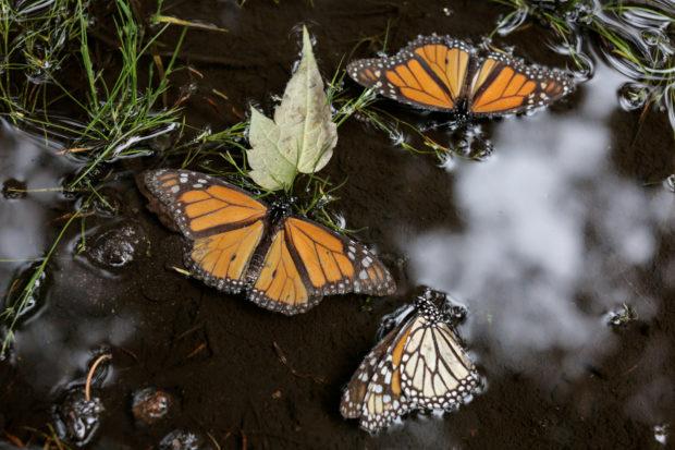 U.S. says monarch butterflies deserve protection, but must wait in line