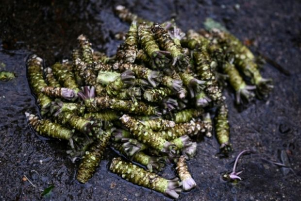 Japan's wasabi producers farm 'green gold'